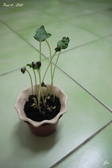 D42you are too tall!! (Jia  ) Tags: plant green seed panasonic  germinate   gf2