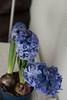 Y el intenso perfume (mati-hari) Tags: flores verde azul plantas tiesto bulbos tallos tiestos jacintos