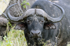 Buffalo (Fil.ippo) Tags: animal southafrica wildlife savannah bufalo filippo krugernationalpark skukuza sudafrica africanbuffalo sigma70300 d7000 filippobianchi