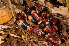 Micrurus alleni (Kevin Stohlgren) Tags: macro coral costarica snake sony allens sigma osa alleni a77 osapeninsula 70mm micrurus