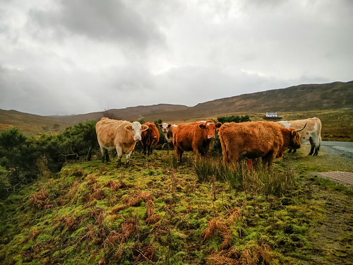 Highland Cows nr Portree