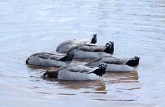 Five Curly Tails (Maggggie) Tags: birds takeaim ducks domesticducks lake water lakehorton tails mallards explored