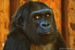 Momo (Mantrize) Tags: zooduisburg zoo duisburg gorillas gorilas suwedi safiri momo mapema kiburi westernlowlandgorilla gorilaoccidentaldecosta gorilla gorila greatapes grandessimios