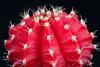 Macro cactus (jeff's pixels) Tags: cactus red prick head plant macro nikon d500 closeup