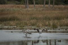 IMG_6889 (abracapocus_pocuscadabra) Tags: birds nature water marsh outdoor midwest sandhillcranes