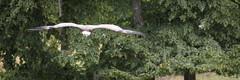 Flying (Cloudtail the Snow Leopard) Tags: gnsegeier wildpark bad mergentheim tier animal vogel bird griffon vulture geier gyps fulvus flug fliegen fly flying cloudtailthesnowleopard