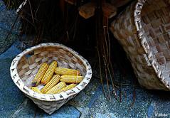 Mazorcas de millo (Franco DAlbao) Tags: francodalbao dalbao lumix maz millo corn cestas baskets vigo galicia