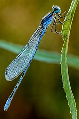 Damselfly Cropped (brev99) Tags: damselfly insect sigma185028hsm d7100 nikviveza perfecteffects10 ononesoftware crop closeup highqualityanimals bokeh blur topazdetail topazdenoise