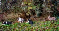 IMG_2083 (pinktigger) Tags: rabbits cute leaves autumn fall animal oasideiquadris fagagna feagne friuli italy italia bunny