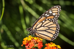 Monarch Butterfly D75_5540.jpg (Mobile Lynn) Tags: wild nature butterfly insects fauna wildlife benahavs andaluca spain es coth specanimal coth5 ngc sunrays5 platinumheartaward