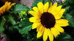 REMEMBERING A SUNNY DAY (Visual Images1) Tags: flowers green yellow blackeyedsusan sunflower