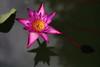 Red Lotus (HDH.Lucas) Tags: cannon lotus flower red water lucas 동형 연꽃 수련