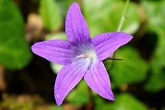 Campanule tale (Chris-17) Tags: plant fleur flower campanule bluebell