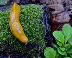 Ano Nuevo, Butano State Park, Goat Hill trails, Little Butano Creek, banana slug, redwoods (David McSpadden) Tags: anonuevo bananaslug butanostatepark goathilltrails littlebutanocreek redwoods