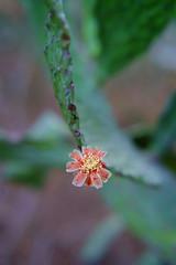little cactus flower (Rodrigo Uriartt) Tags: little cactus flower macro macrophotography closeup fujifilm xpro1 astia