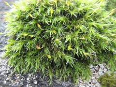 Musgo (Elbellavistas) Tags: musgo moss otoo autumn outdoor