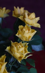 DSC_3182 (PeaTJay) Tags: nikond750 reading lowerearley berkshire macro micro closeups gardens indoors nature flora fauna plants flowers rose roses rosebuds