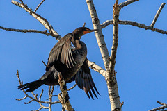 cormorant-10-19-16-23 (Ken Folwell) Tags: birds cormorant river idaho canon7dmkii ef100400f4556lii boise greenbelt wildlife nature