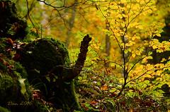 Sottobosco (danars) Tags: autunno bosco faller sottobosco pomprussian sovramonte allegrifotografi faggi chiocciolaelefanteotacchino
