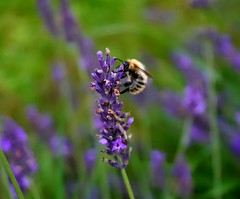 Bee in the garden! (luzvimindax) Tags: bee garden nature lavender flowers plant flower animal