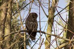 Barred Owl (Rick J. Baker) Tags: lyndeshores whitby owl barredowl birdofprey ontariobird raptor ontarioraptor