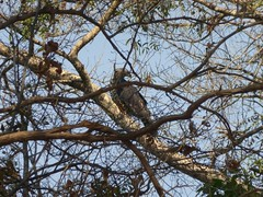 Crowned Eagle (tapaculo99) Tags: africa zambia eagle raptor crownedeagle birds aves stephanoaetuscoronatus