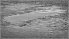 Dolphins in Turbulent Waters (Donald Noble) Tags: antrim ireland northernireland animal cetacea cetation coast dolphin fauna mammal monochrome sea turbulence water wave waves