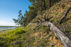 The trunk of an old pine (Ivanov Andrey) Tags: hill slope sunset cliff tree pine pineforest forest conifer trunk bark root branch grass bush sky stone sand river beach orange sun evening blue landscape ascent descent shadow nature travel tourism lakebaikal russia