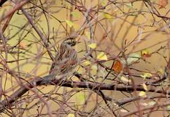 Siberian Accentor............Prunella montanella (gus guthrie1) Tags: prunellamontanella siberianaccentor rarity scotland migration plumage bird wildlife nature