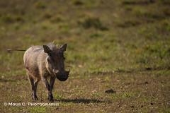 DSC02700.jpg (ChrMous) Tags: tamronsp150600mmf563 knobbelzwijn southafrica zoogdieren zuidafrika sonyslta99 animals 2016 easterncape addoelephantnationalpark commonwarthog phacochoerusafricanus