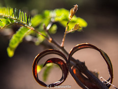 Curlique (Lindsay Feldner) Tags: nature curly curl plant foliage sunlight garden