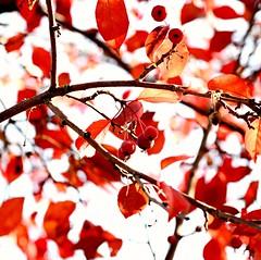 Red leaves & cherries (vinnie saxon) Tags: leaves cherries red autumn fall season bokeh backlight nature nikon nikoniste d600