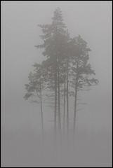 Trees in fog (Jonas Thomn) Tags: trees trd fog dimma grey grtt kalhygge clearcut pine tall spruce