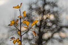 Autumbubbles (SonjaS.) Tags: bubbles trioplan bokeh herbst autumn