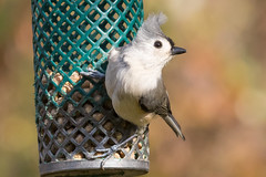 Tufted Titmouse Perched on a Feeder 11-27-2016-10 (Scott Alan McClurg) Tags: animal autumn bird bokeh eat fall feed feeder forest life lunch nature naturephotography perch perching smallbirds songbird suburbs suet titmouse tree tufted tuftedtitmouse wild wildlife woods yard