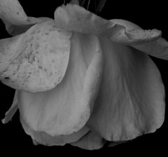 Fading rose flower (kyliepics) Tags: olympus e520 evolt520 reversedminoltafitsigma2870mm macro rawtherapee blackwhite addedtogroups