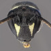 Hylaeus hyalinatus (female)
