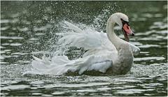 Angry (marypink) Tags: summer bird swan estate acqua ware cygnus spruzzi cignoreale laghidimantova fiumemincio nikkor80400mmf4556 nikond7200