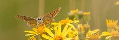 Brown Argus-4601 Explored! (WendyCoops224) Tags: yellow canon eos explore uplit ragwort 70d explored 100400mml oliveswood ©wendycooper localbirdswildlifespringwatch