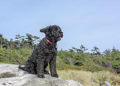 Windblown Portuguese Water Dog (tmeallen) Tags: blue portrait sky dog canada black beach britishcolumbia vancouverisland driftwood longbeach curly tofino portuguese windblown waterdog pacificrimnationalparkreserve