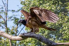 Bartgeier (stegi_at) Tags: austria tirol sterreich innsbruck vogel alpenzoo greifvogel bartgeier