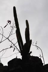 Catci above the Peace Hill (daveynin) Tags: silhouette flora ruins nps usvi catci deaftalent top252015runnerups deafoutsidetalent deafoutdoortalent