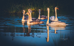 Early morning family gathering (Ingeborg Ruyken) Tags: morning family summer swimming swim sunrise river dawn nationalpark flickr ditch familie august swans naturereserve zomer gathering aa dropbox augustus ochtend facebook sloot bijeenkomst rivier zwemmen 2015 zwanen empel zonsopkomst natuurfotografie kanaalpark 500pxs