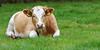 _IMG_3861 (Ernst-Jan de Vries) Tags: pink kuh cow rind weide cattle vee calf rund weiland koe kalb kalf fleckvieh yearling vieh heafer vealing grünland grafschaftbentheim simmentaler färs kalbin georgsdorf