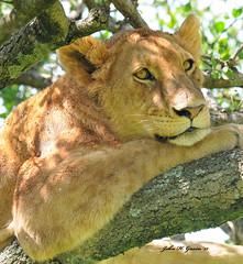"JHG_8714-b At ease and ""fly-free"" up in a Balanite tree, Masai Mara, Kenya. (GavinKenya) Tags: africa wild nature animal june john mammal photography gavin photographer kenya african wildlife july grand safari dk naturephotography kenyasafari africansafari 2015 safaris africanwildlife africasafari johngavin wildlifephotography kenyaafrica kenyawildlife dkgrandsafaris africa2015 safari2015 johnhgavin"