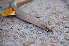 Day 293-365 (mpw1421) Tags: autumn animal nikon reptile lizard 365 essex d60 slowworm day293 flitchway unlimitedphotos day293365 bbcautumnwatch 365the2015edition 3652015 20oct15