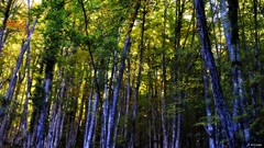 Entre hayas (A. del Campo) Tags: wood autumn trees naturaleza luz nature forest lights nikon rboles shadows naturallight asturias bosque rbol otoo nikkor sombras colunga hayedo luznatural principadodeasturias biescona nikond3000 hayedodebiescona