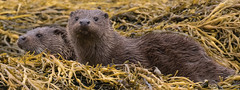 Otter Cubs (coopsphotomad) Tags: sea playing seaweed nature animal mammal scotland outdoor wildlife scottish sealife isleofmull cubs loch mull isle otters britishwildlife sealoch scottishwildlife