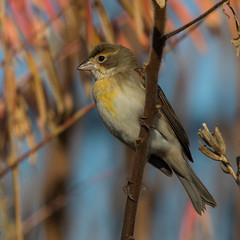 Dickcissel (tanglechu) Tags: bird animal suffolk massachusetts milenniumpark dickcissel