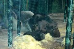 LOUISVILLE, KENTUCKY ZOO (gobucks2) Tags: animals zoo wildlife gorillas primates 2015 louisvillezoo november2015 louisvillekentuckyzoo fall2015